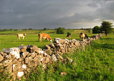 Rural Ireland-grain visible. Cow field in Co. Roscommon, Ireland royalty free stock photo