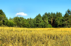 Rural landscape. With oats field, pine forest and blue sky Stock Photo
