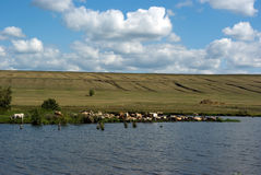 Rural landscape. Blue sky with cloud, mowing field, pond and grazing cow Royalty Free Stock Photos