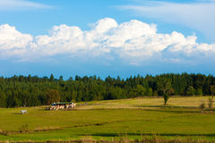 Rural landscape. With cows under blue sky Stock Photos