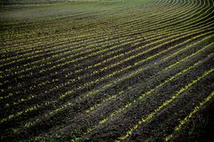 Rural landscape. Acre with rows of young plants Stock Photo