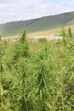A rural landscape with adult cannabis bushes Royalty Free Stock Photos