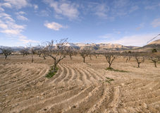 Rural landscape with almond trees in winter Stock Photo