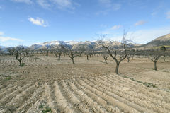 Rural landscape with almond trees in winter Stock Images