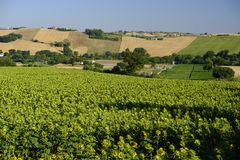 Summer landscape in Marches Italy near Jesi. Rural landscape along the road from Jesi to Filottrano Ancona, Marches, Italy, at summer Royalty Free Stock Photo