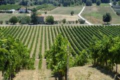 Vineyards near Monterubbiano Marches, Italy Royalty Free Stock Photography
