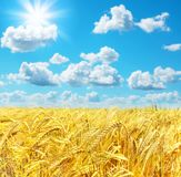 Rural landscape. With barley field and blue sky Stock Photography