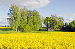 Rural landscape with barn and rapes field Royalty Free Stock Image