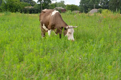Rural landscape with a being grazed cow Stock Images