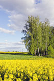 Rural landscape with birches and rapes field Stock Photography