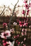 Blooming peach garden Stock Photography