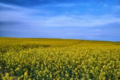 Rural landscape with a blossoming rapeseed stock photos