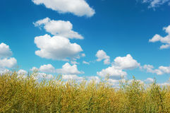 Rural landscape with brushwood and cloudy blue sky. Countryside landscape with yellow-green brushwood against a picturesque cloudy sky on a perfect sunny day stock photography