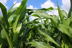 Agriculture, agronomy and farming background. Rural landscape with cloudy blue sky over the field of growing corn close up royalty free stock photography