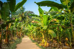 Rural landscape common road through banana plantation Stock Photo