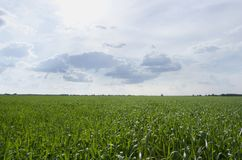 Rural landscape with corn field, empty background with copy space. Rural landscape with wheat field, nobody, empty background with copy space royalty free stock photo