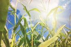 Rural landscape - corn field on sunny hot summer day stock images