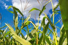 Rural landscape - corn field on sunny hot summer day stock image