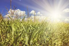 Rural landscape - corn field on sunny summer day royalty free stock images