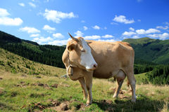 Rural landscape with cow. Cow in beautiful farmland in the mountains Stock Photography