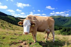 Rural landscape with cow. Cow in beautiful farmland in the mountains Stock Image