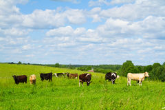 Rural landscape with cows Royalty Free Stock Images