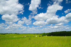Rural landscape with cows Stock Image
