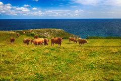 Rural landscape with cows herd Stock Photography
