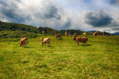 Rural landscape with cows herd Royalty Free Stock Photography