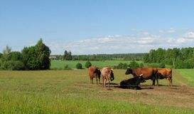 Rural landscape. With cows in Latvia Royalty Free Stock Photo