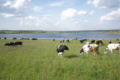 Rural landscape with cows on meadow near lake Royalty Free Stock Photos