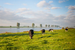 Rural landscape with cows and a river Stock Photo