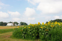 Rural landscape with a farm and field with sunflowers Stock Image