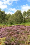 Rural Landscape. A field of brightly coloured flowering heather with trees in the background in August in the Peak District Derbyshire England Stock Photos