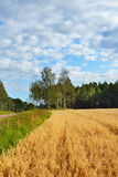 Rural landscape with field of oats Stock Photos