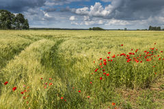 Rural landscape with field of poppies and barley Stock Image