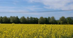 Field of rapeseed, close up. Rural landscape with field of rapeseed / oilseed in full bloom, swaying in the wind. Rape seed oil from these fields is used to stock video footage