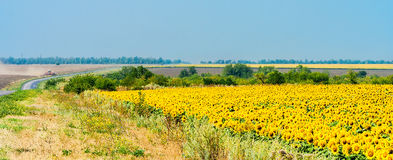 Rural landscape with fields of sunflowers and road Royalty Free Stock Photography