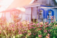 Rural landscape with flowering herbs and a country house stock photo