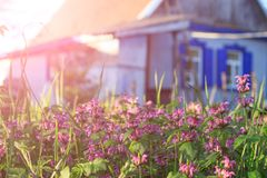 Rural landscape with flowering herbs royalty free stock photo