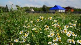 Rural landscape. Focus on daisies. A rural landscape, focus on daisies stock video footage