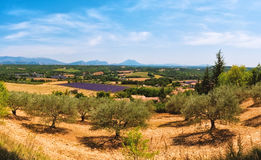 Rural landscape of French Provence. Olive garden and lavender fields in Provence, France - rural landscape Royalty Free Stock Images