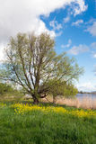 Rural landscape with a fresh green budding tree Royalty Free Stock Images