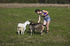 Rural landscape. Goats on a green meadow in Karelia, Russia Stock Image