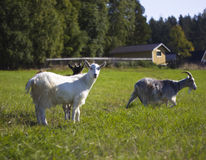 Rural landscape. Goats on a green meadow in Karelia, Russia Royalty Free Stock Photo