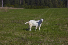 Rural landscape. Goats on a green meadow in Karelia, Russia Stock Photos