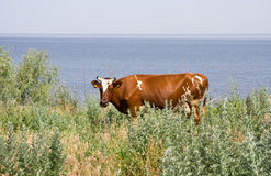 Rural landscape. Grazing cow on the banks of the river Stock Photo