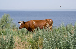 Rural landscape. Grazing cow on the banks of the river Royalty Free Stock Images