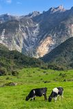 Rural landscape with grazing cows and Kinabalu mountain. At background in Kundasang, Sabah, Borneo, Malaysia Stock Photos