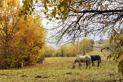 Rural landscape with grazing horses Stock Photos